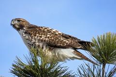In Our CBC Circle (Patricia Henschen) Tags: palmer park palmerpark cbc christmasbirdcount colorado coloradosprings hawk redtailedhawk