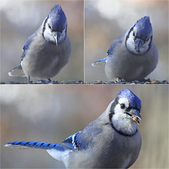 Cyanocitta Cristata (ioensis) Tags: cyanocitta cristata blue jays winter 2017 jdl ioensis webster groves mo missouri 66670001b©johnlangholz2018