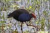 Purple Swamphen - Porphyrio porphyrio. Male (Steve Hitchcock) Tags: purpleswamphen porphyrioporphyrio birds stevehitchcock queenslandbirds australianbirds