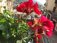 Flowers bridge (diana_moldovan_) Tags: flowers red wood forest panorama beautiful dianaphoto pontedilegno