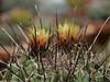 Ferocactus emoryi var. rectispinus (ecos de pedra) Tags: ferocactus