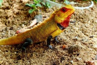 Calotes - Oriental Garden lizard - my backyard