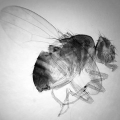fruitfly stacked 12 images (photobeam ( Better grays through research © )) Tags: fruitfly microscope