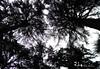 Himalaya-Zedern (aNNa schramm) Tags: bäume gegenlicht sw bw stiffnack perspektive baum himmel wald landschaft