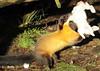 Yellowthroated marter Ouwehands BB2A4254 (j.a.kok) Tags: marter maleisebontemarter yellowthroatedmarter asia azie maleisie malayan animal ouwehands mammal zoogdier dier