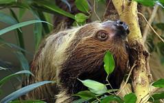 twotoed sloth artis BB2A6935 (j.a.kok) Tags: luiaard tweetenigeluiaard twotoedsloth zuidamerika southamerica animal mammal zoogdier dier artis