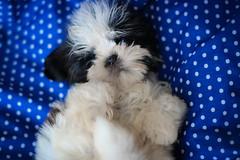 IMG_0437-1 (Deborah Linhares Fotografia) Tags: dog newborn littledog shitzu portrait texture baby babydog