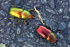 CHRISTMAS BEETLES on the MOVE (Lani Elliott) Tags: nature naturephotography lanielliott beetle christmasbeetle lamprimaaurata color colour colourful bright light radiant glowing excellent fantastic gorgeous superb awesome wow