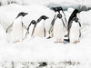 The Gang (thomas.reissnecker) Tags: travel nature gadventure msexpedition adeliepenguins antarctica penguins
