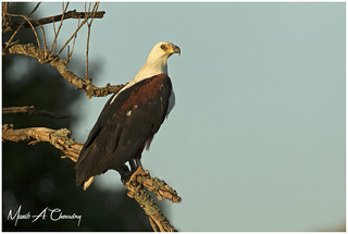 The Golden Fish Eagle!
