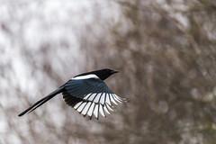 Ailes colorées - Colorful wings (bboozoo) Tags: wildlife nature pie magpie canon6d tamron150600 bokeh profondeurdechamp