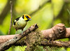 IMG_7583   Flame-faced Tanager (ashahmtl) Tags: flamefacedtanager bird tanager songbird tangaraparzudakii santadeonearmindo pichinchaprovince ecuador