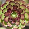 Aeonium arboreum-5 (SUBENUIX) Tags: aeoniumarboreum crassulaceae suculentas subenuix subenuixcom planta suculent suculenta botanic botanical