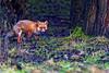 Red Fox (Wild Lens) Tags: animal red fox woods woodland predator canon 7dmk2 400mm