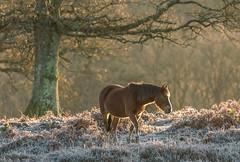 New forest pony in frost (Anthony White) Tags: burley england unitedkingdom gb sunrise newforest
