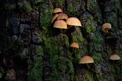 Mushrooms (River-Life) Tags: riverlife nikon d5300 nature florida highlandshammockstatepark fungi mushrooms outdoors outdoor