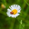 Ladybird on a daisy flower (Merrillie) Tags: beetle flora ladybug nature closeup insect outdoor fauna daisy ladybird macro