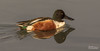 Northern Shoveler Drake (Anas clypeata) (Don Dunning) Tags: animals bayfrontpark birds california canon100400mm canon7dmarkii duck millbrae northernshoveler sanmateocounty unitedstates water