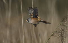 Bearded Tit - I'll give you a chance., but don't expect another one! (Ann and Chris) Tags: avian amazing bird beak beardedtit cute close elusive feathers flying gorgeous strumpshawfen strumpshaw norfolk outdoors stunning unusual vogel wildlife wild wings wildllife reed