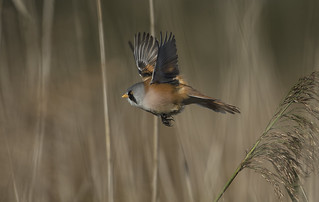 Bearded Tit - I'll give you a chance., but don't expect another one!
