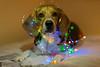 No sé que le pasó al árbol de Navidad... (Isaki ) Tags: isaki canon5dmarkiii sigma50mm14 jobs beagle gos perro dog