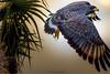 Cuban Blackhawk (soupie1441) Tags: cuban blackhawk hawk cayo coco cuba nikon d7200 200500mm flight wingspan nature wildlife