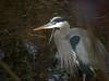 Winter Fishing (ambrknr) Tags: great blue heron wildlife water fowl waterfowl bird delta ponds eugene western oregon pacific northwest willamette valley ardea herodias