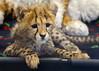 Roketi, Resting From Play (Penny Hyde) Tags: babyanimal bigcat cheetah cub dheetahcub safaripark
