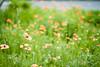 L1018469c (haru__q) Tags: leica m8 leicam8 minolta rokkor poppy ポピー flower 花