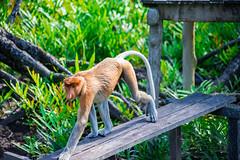 Proboscis monkey (Nasalis larvatus) at the Labuk Bay proboscis monkey sanctuary. Sandakan. (Phalinn Ooi) Tags: sepilokorangutanrehabilitationcentre sunbear sepilok rainforestdiscoverycentre rainforest jungle wildlife sandakan kinabatangan river sukau bilit sabah borneo malaysia asia nature outdoor adventure safari holiday animal orangutan proboscis monkey silverleaf lutung langur crocodile snake monitorlizard boat labukbay myne resort canon eos dslr photography egret bird wanderlust travel family beautiful view love wife trekking macro flower insect tree forest 5dmarkiv beardedpig water cruise alam world scenery flora fauna megadiverse biodiversity landscape people sexy woman biology naturalist coutinho