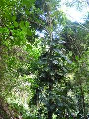 Wailua River State Park - Fern Grotto (12) (pensivelaw1) Tags: hawaii kauai wailuariverstatepark ferngrotto