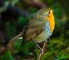 Robin on a Twig (steelegbr) Tags: highlands queenelizabethforestpark scotland uk bird outdoors robin rural winter