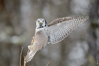 Northern Hawk Owl_45987-.jpg