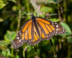 DSC_3661 (craigchaddock) Tags: danausplexippus hummingbirdsandbutterfliesgarden monarchbutterfly nationalaudubongrant sandiegoaudubongrant sandiegocitycollege