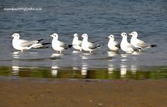 DSC00829 Brown-headed Gull (Chroicocephalus brunnicephalus) (vlupadya) Tags: greatnature animal bird aves fauna idianbirds brownheaded gull chroicocephalus kundapura karnataka