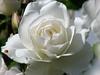 White Rose 'Peace' and Friend (Padski1945) Tags: whiterose rosa rose flora flower flowers peacerose peace ladybird messageofpeace macro