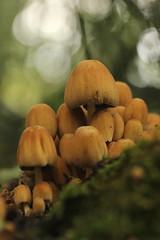 Gewone glimmerinktzwam - Coprinellus micaceus - Glistening Inkcap Mushroom (merijnloeve) Tags: gewone glimmerinktzwam coprinellus micaceus glistening inkcap mushroom rotterdam de tempel paddenstoel paddestoel fungi fungus