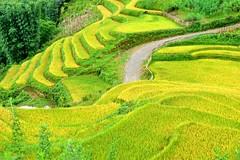 Terrace field. Sapa. Vietnam (Nguyen Duc Loi) Tags: terracefield sapa vietnam northwest tâybắc ruộngbậcthang ảnhđẹpthiênnhiênviệtnam