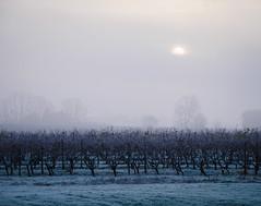 ColdDay.jpg (Klaus Ressmann) Tags: klaus ressmann omd em1 fburie fog landscape nature vineyard winter cold flcnat klausressmann omdem1