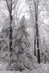 Winter Wonderland (Kitty Terwolbeck) Tags: netherlands veluwe veluwezoom nationalpark nationaalpark sneeuw snow winter woods forest trees hiking wandeltocht wandeling wandelen walking cold snowy landscape nature christmastree