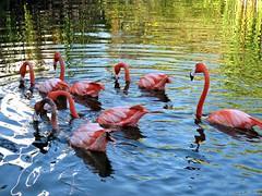 flamingos (galsafrafoto) Tags: may10 birds flamingos nature