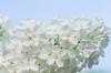 Syringa vulgaris (grus_p) Tags: flower lilac syringavulgaris june summer light white beautyofnature sky sunlight luminanceboréale finland