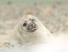 Pas geboren zeehondje gefotografeerd op het eiland Dune. (gonda2010) Tags: rood