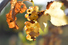 Lightshow (Alexandra Horvath) Tags: nature outdoor fall autumn nikon hungary nikond3200 yongnuo depthoffield grapes fruit garden bokeh lights