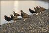 Black Oystercatcher 0199 web (DAMON WEST www.damonwestphotography.com) Tags: bird wildlife nature blackoystercatcher oystercatcher bc britishcolumbia canada shorebird crescentbeach