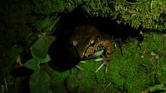 Smoky jungle frog (Leptodactylus pentadactylus) (phl_with_a_camera1) Tags: smoky jungle frog leptodactylus pentadactylus smokey rana animal nature herp herping closeup detail close macro noflash flashlight costa rica night water