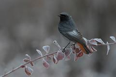 black redstart (leonardo manetti) Tags: uccello albero winter dawn sunrise bird birds animals animal wild nature field