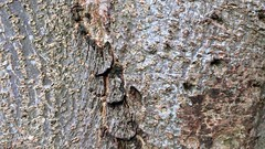 Indian Horse Chestnut (Aesculus indica) - bark close up - December 2017 (terrencepickles) Tags: indian horse chestnut aesculus indica bark close up december 2017