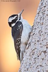 Hairy Woodpecker 17-3487 (Hans Spiecker Photography) Tags: california chilaovisitorcenter hairywoodpecker