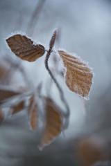 Le dernier jour ** (Titole) Tags: leaves leaf brown shallowdof titole nicolefaton beech hêtre